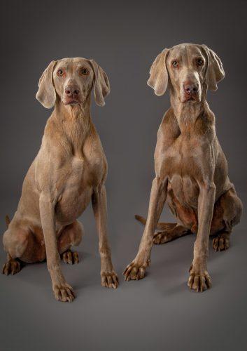 weimaraner dog photography