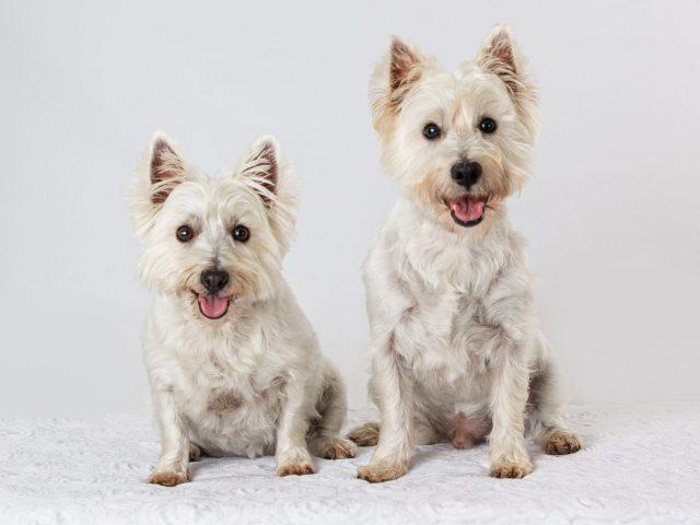 west highland terrier photo shoot
